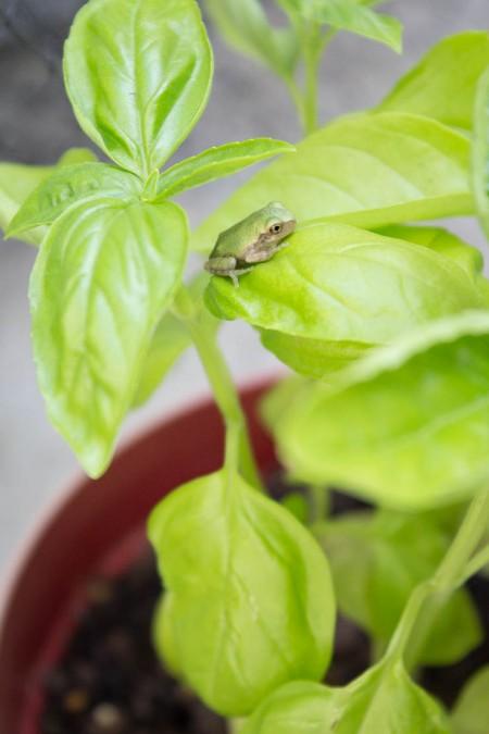 Pesto, The Frog