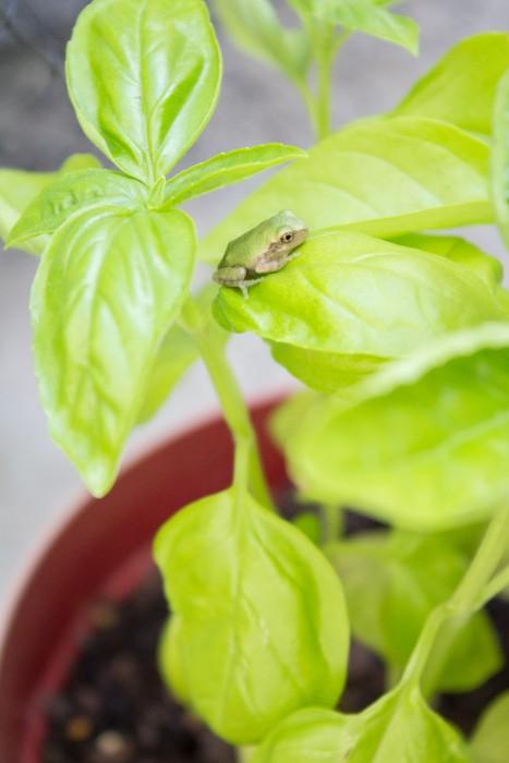 Basil from the Garden