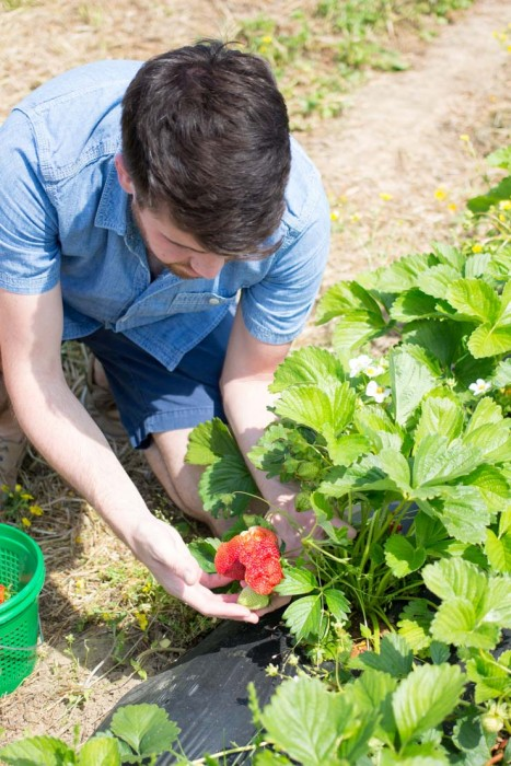 Picking Fresh Local Strawberries